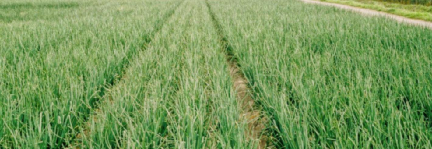 uienveld onion field